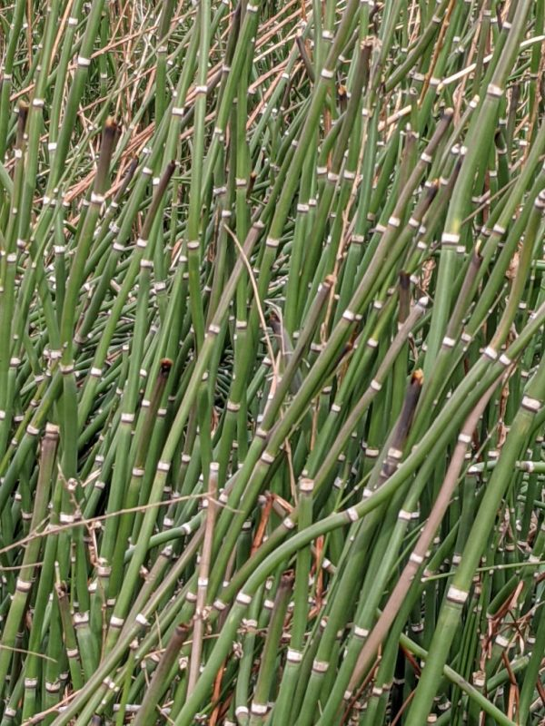 Close up of horsetails.