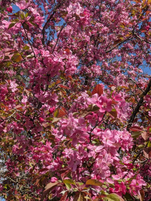 Pink blooms on a tree near the Superintendent's house