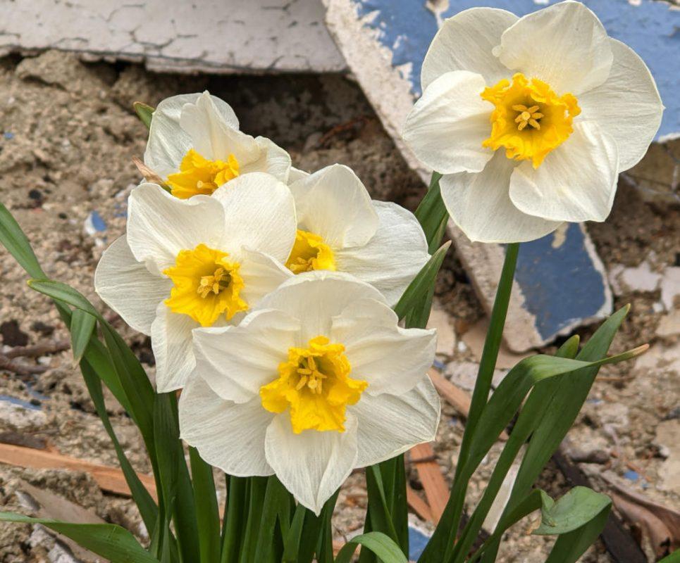 April Flowers in front of construction debris